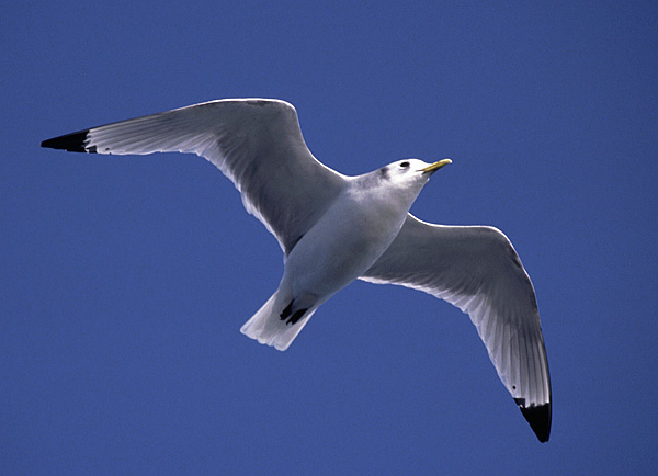 Black-legged Kittiwake - NJ