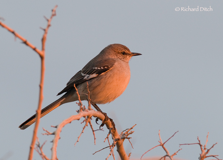 Northern Mockingbird @ 7:41 am