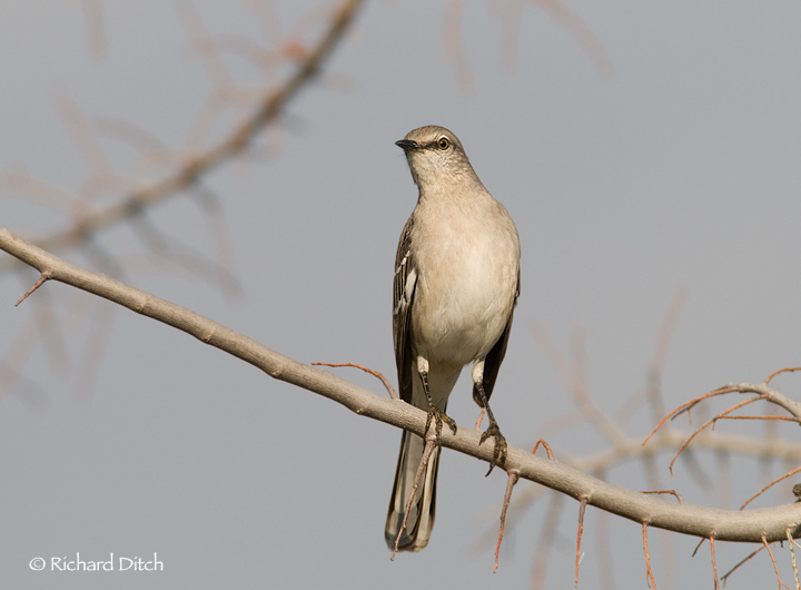 Northern Mockingbird @ 9:52 am