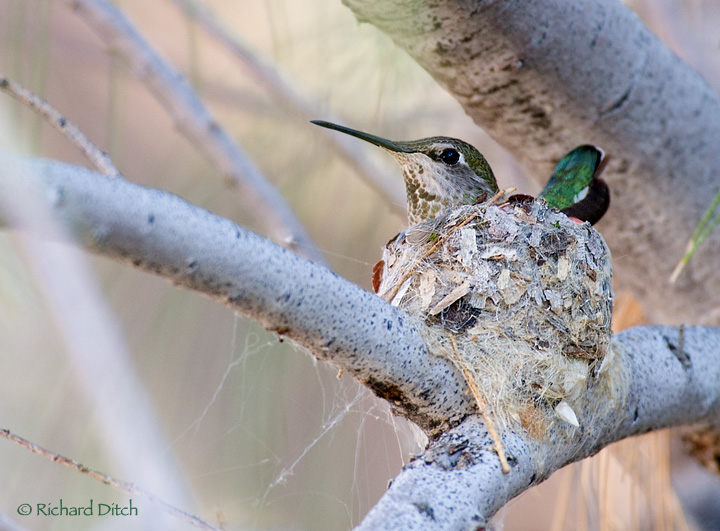 Anna's Hummingbird female on nest