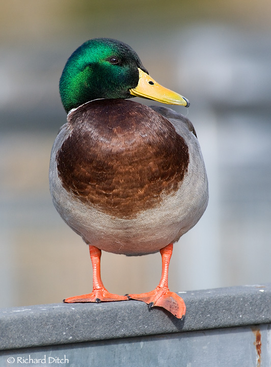 Mallard on the railing
