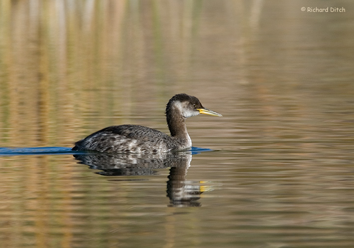 Red-necked Grebe, Kearny, AZ