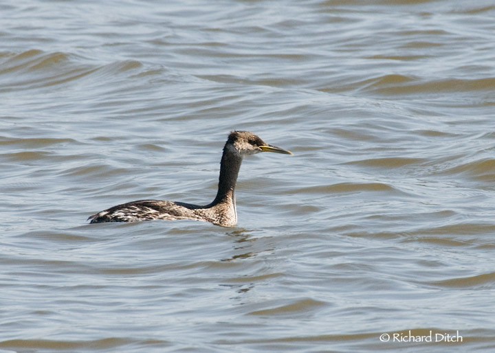 Red-necked Grebe, Tempe Town Lake