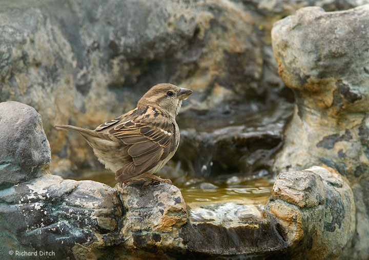 House Sparrow at water