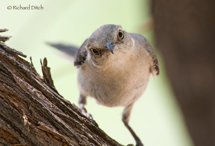 RichS Backyard Birds : Northern Mockingbird  Rich Ditchs Photography Blog