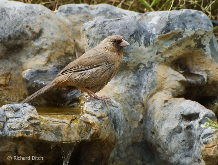 Abert's Towhee at water feature