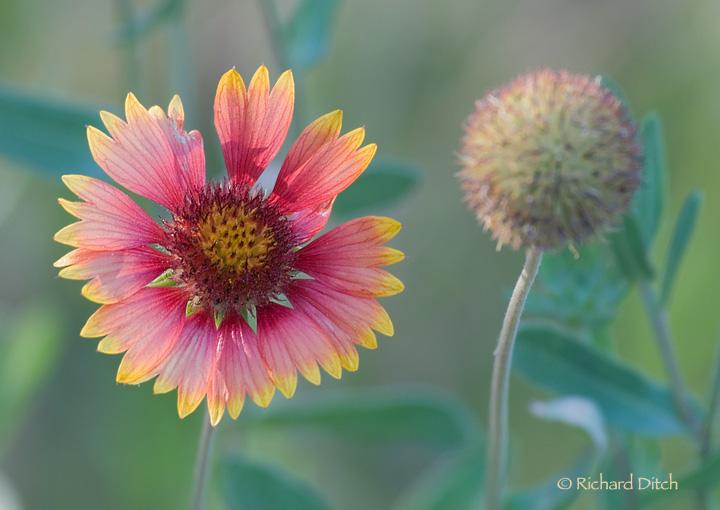 Boyce Flower
