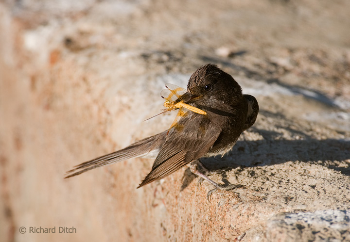 Black Phoebe with Mexican Amberwing Dragonfly