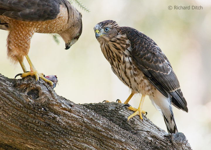 Cooper's Hawk adult feeding juvenile