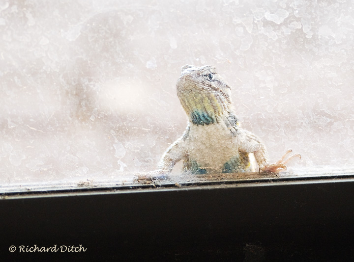 Desert Spiny Lizard at the Patio Door