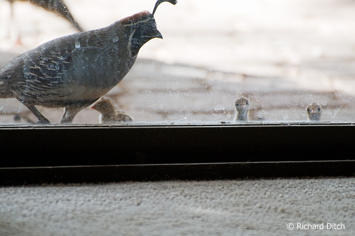 Gambel's Quail chicks at patio door