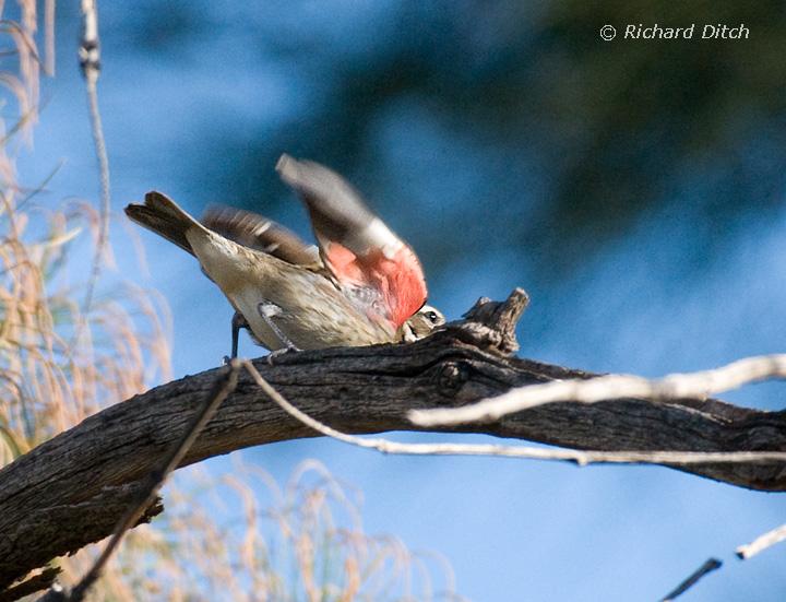 Rose-breasted Grosbeak showing field mark