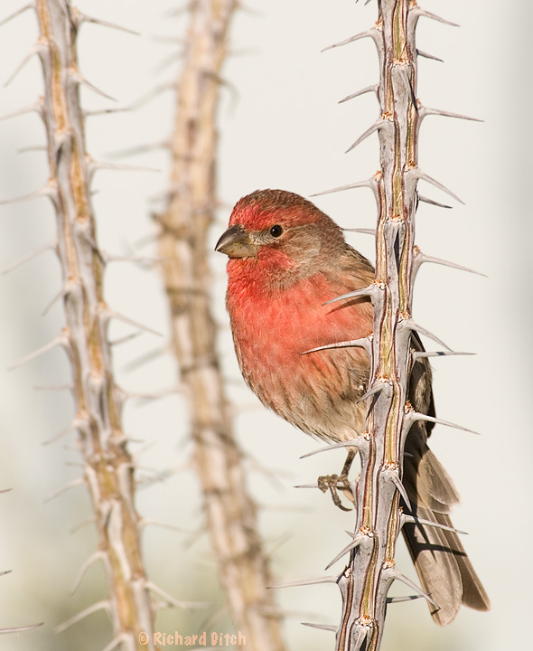 House Finch on Ocotillo