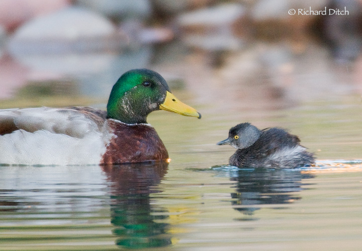 Least Grebe and Mallard