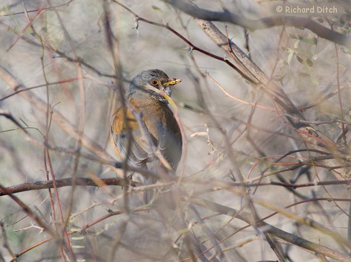 Rufous-backed Robin at Gilbert Water Ranch