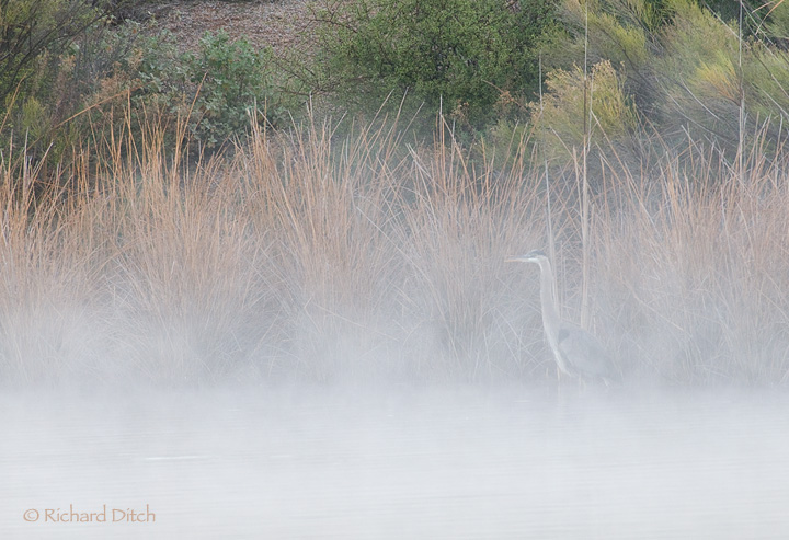 Great Blue Heron in morning mist