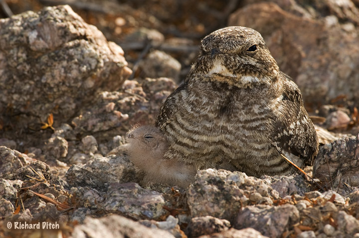 Lesser Nighthawk - full frame