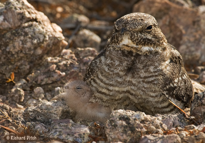 Lesser Nighthawk - cropped