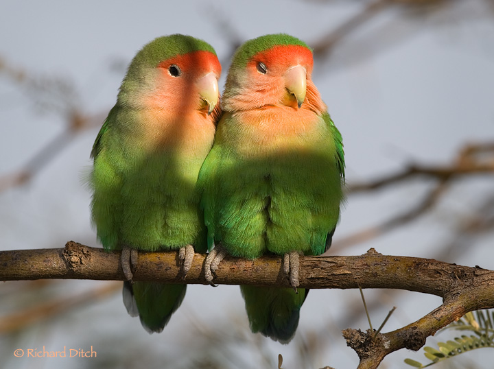 African lovebirds with name - photo#36