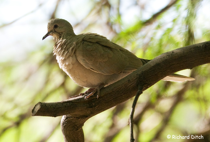 Eurasian Collared Dove?
