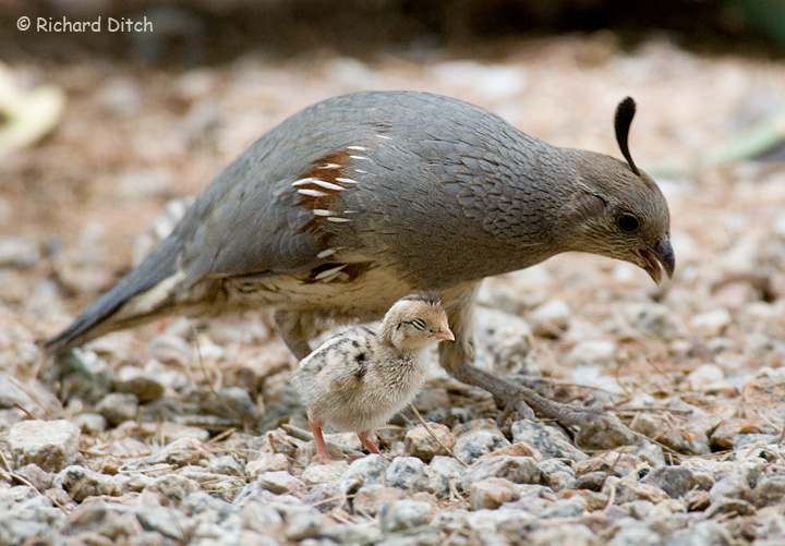 Gambel's Quail female with chick