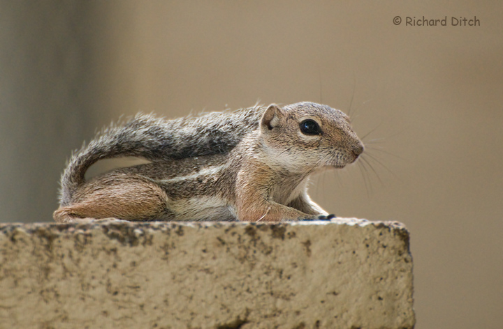 Harris's Antelope Squirrel