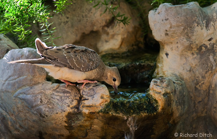 Young Mourning Dove at Water Feature