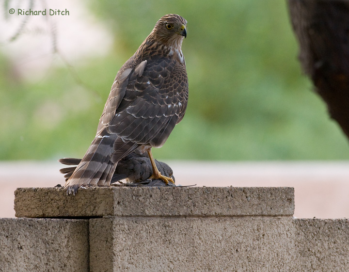 Cooper's Hawk with Curve-billed Thrasher
